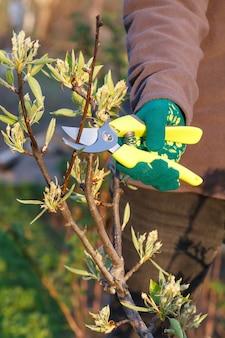 Une agricultrice s'occupe du jardin. taille de printemps des arbres fruitiers. femme avec sécateur cisaille les pointes de poirier
