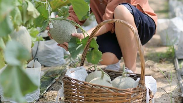 Les agricultrices récoltent le melon dans le jardin pour envoyer des clients.
