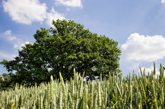 L'agriculture et l'agriculture pour la culture de céréales pour la production de céréales, de blé ou de seigle sont utilisées pour la préparation de produits alimentaires, chêne vert