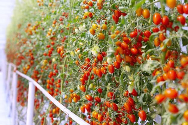 Agriculture de croissance de plantation de tomates rouges et jaunes mûres fraîches dans un jardin de serre biologique prêt à être récolté.