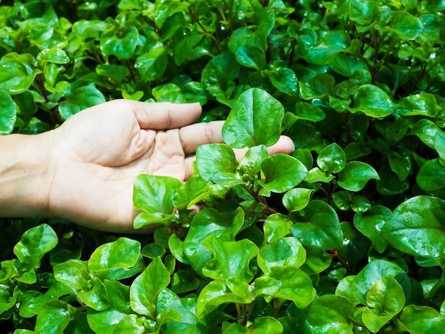 L'agriculture hydroponique avec des légumes frais biologiques des aliments sains et propres dans le jardin