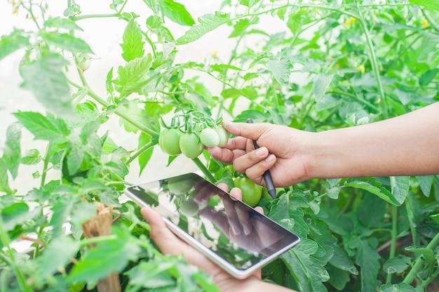 Agriculture industrielle de l'agriculture vérifiant la tomate