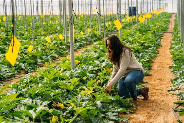 Agriculture jeune femme travaillant dans une serre de courgettes. évaluation, sélection et récolte des meilleures courgettes.