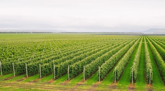 Agriculture. des rangées de pommiers poussent.