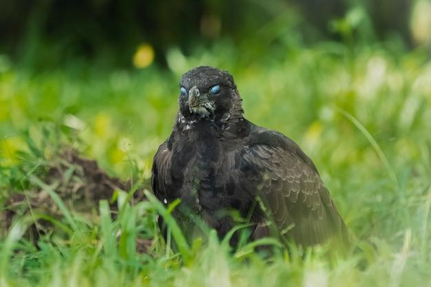 Aigle faucon modifiable