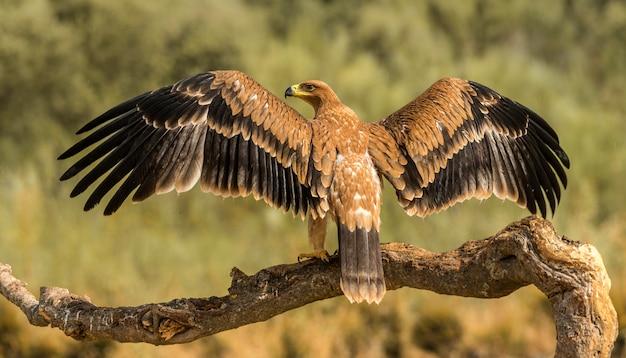 Aigle impérial ibérique dans la nature