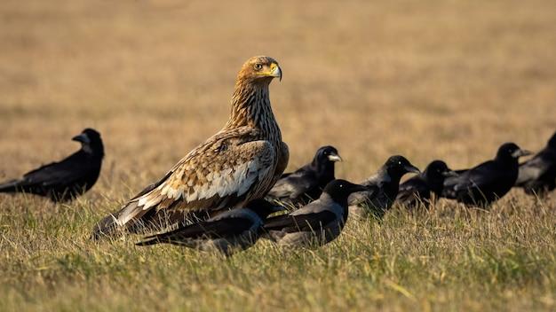 Aigle impérial oriental avec troupeau de corbeaux à la recherche sur le terrain