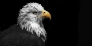 Aigle, oiseau