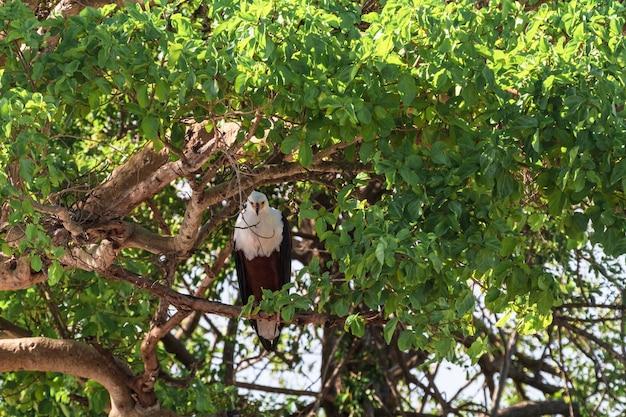 Aigle de pêche sur l'arbre. serengeti, rivière grumeti. afrique