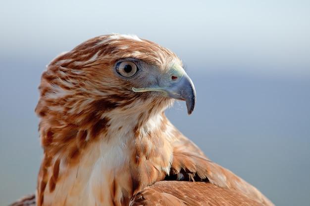 Aigle à queue rouge (buteo jamaicensis)