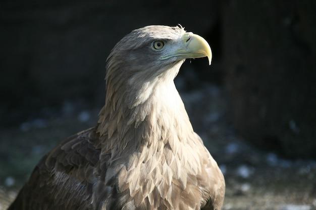 Aigle regardant sur le côté