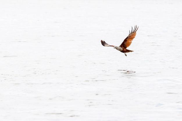Aigle rouge sur la mer dans la nature à la thaïlande
