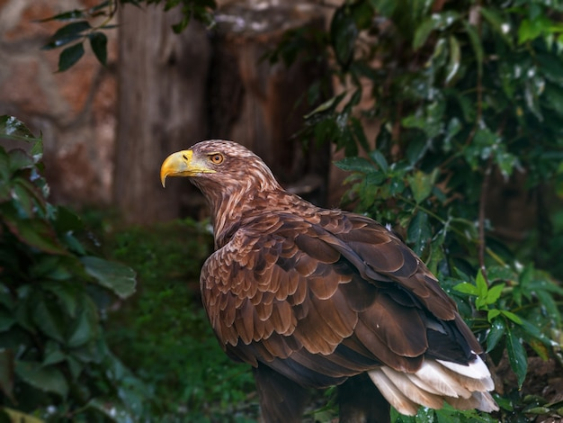 Aigle royal au zoo