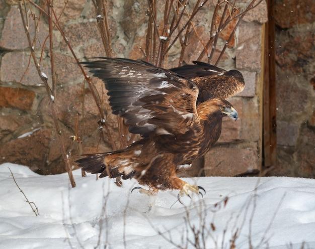 Aigle royal dans la neige