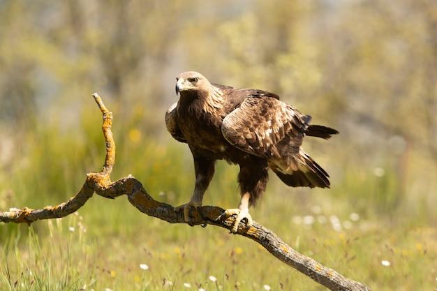 Aigle royal femelle sur une branche dans une forêt de chênes avec la première lumière du jour
