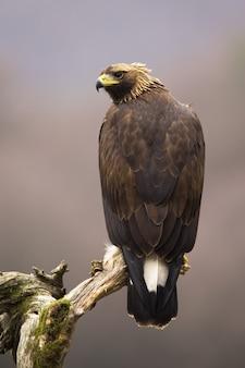 Aigle royal impressionnant assis sur une branche de vue arrière