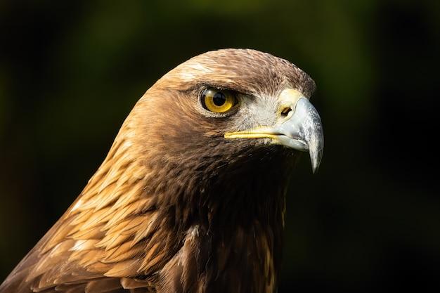 Aigle royal majestueux à la recherche dans la nature en gros plan