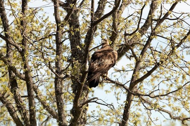 Aigle royal mâle adulte dans une forêt de chênes avec les premières lumières du matin