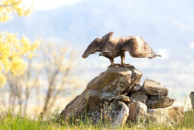 Aigle royal mâle volant dans une forêt de chênes aux premières lueurs du jour