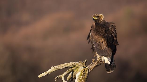 Aigle royal perché sur une branche et regardant derrière par-dessus l'épaule en automne.