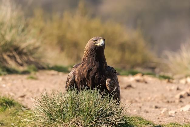 Aigle royal sauvage perché au sol