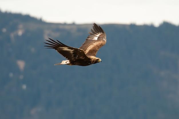 Aigle royal survolant les montagnes dans la nature estivale