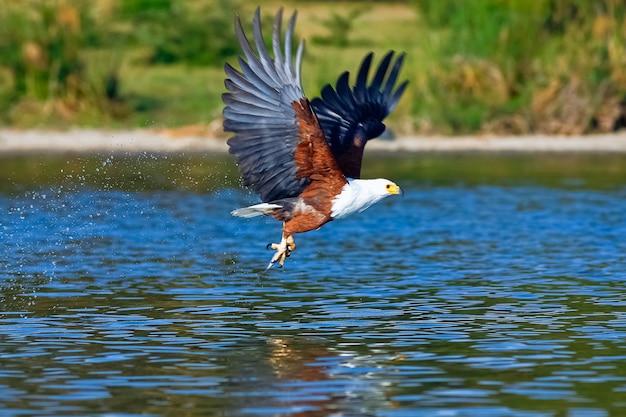 Aigle survolant le lac