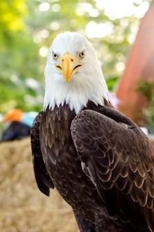 Aigle à tête blanche (aigle à tête blanche, aigle à tête blanche, aigle américain) un portrait