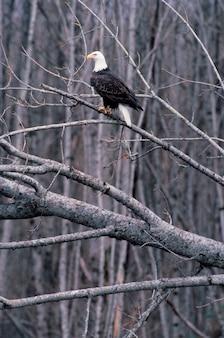 Aigle à tête blanche perché sur un arbre nu