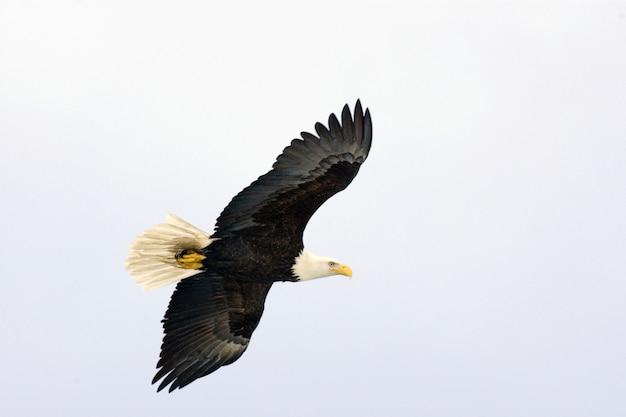 Aigle à tête blanche volant