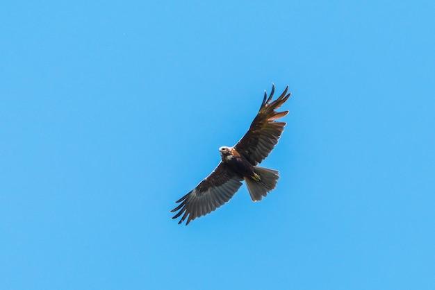Aigle volant dans le ciel bleu