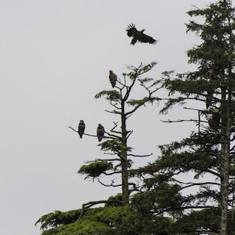 Aigles perchés sur un arbre à feuillage persistant, district régional de skeena-queen charlotte, haida gwaii, graham