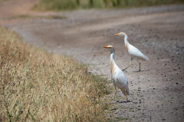 L'aigrette de l'ouest (bubulcus ibis) est une espèce de héron.