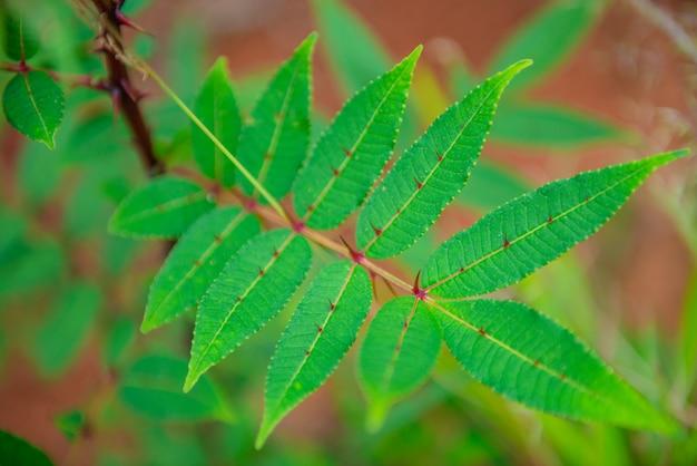 Aiguille feuille verte