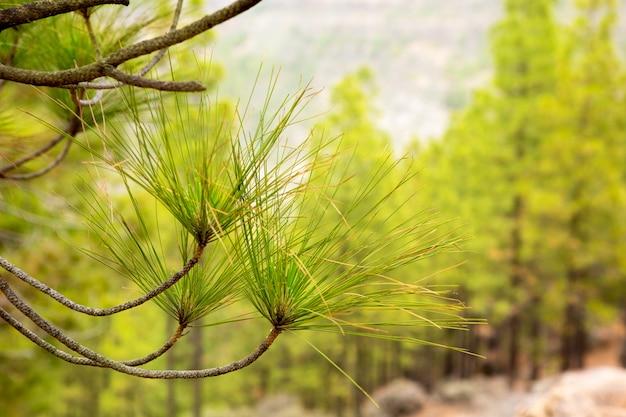 Aiguilles de feuilles de pin carary en grande canarie