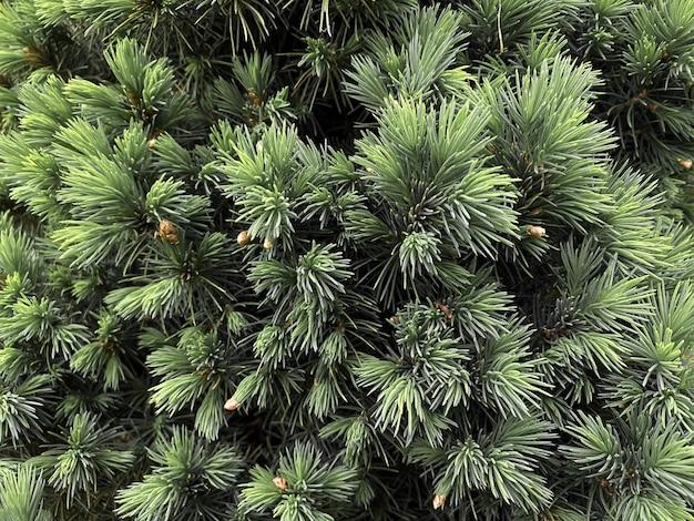 Aiguilles de pin arbre vert fond horizontal