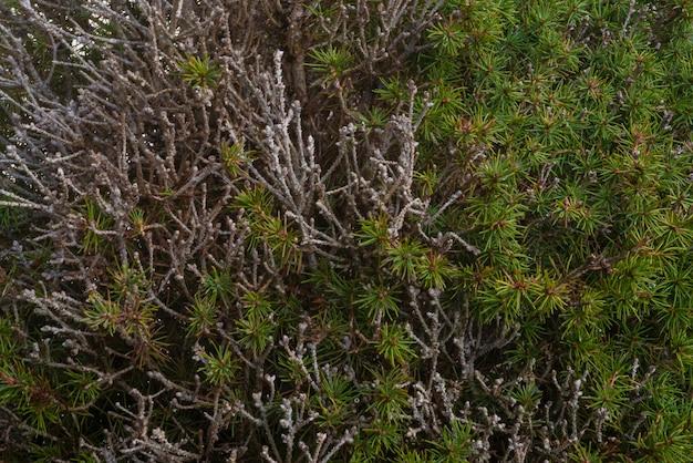 Aiguilles de pin texture macro détail dans la nature avec un haut niveau de détail