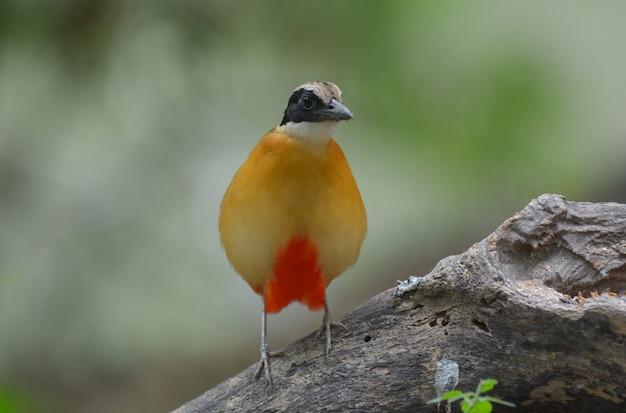 Aile bleue pitta, bel oiseau en thaïlande