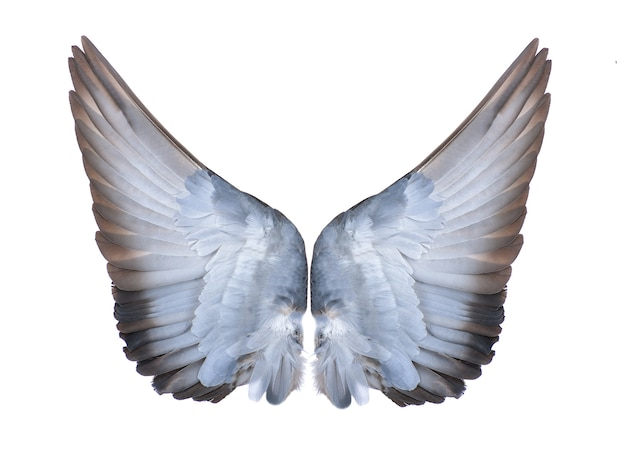 Ailes d'oiseaux sur fond blanc
