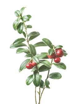 Airelle rouge mûre fraîche avec des feuilles isolées sur une surface blanche