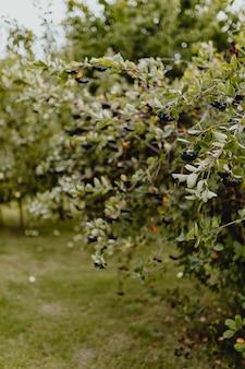 Airelles noires sur un arbre