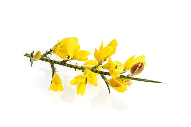 Ajonc jaune frais en fleur isolé sur une surface blanche. ulex europaeus