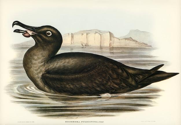 Albatros huppé (diomedea fuliginosa) illustré par elizabeth gould