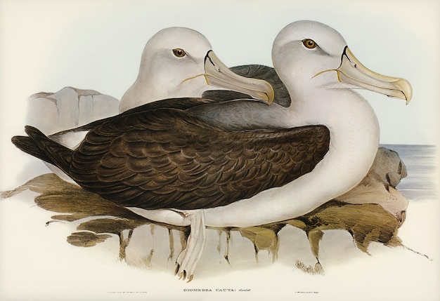 Albatros prudent (diomedea cauta) illustré par elizabeth gould