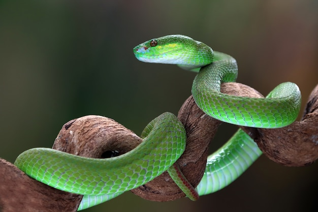 Albolaris vert sur fond noir