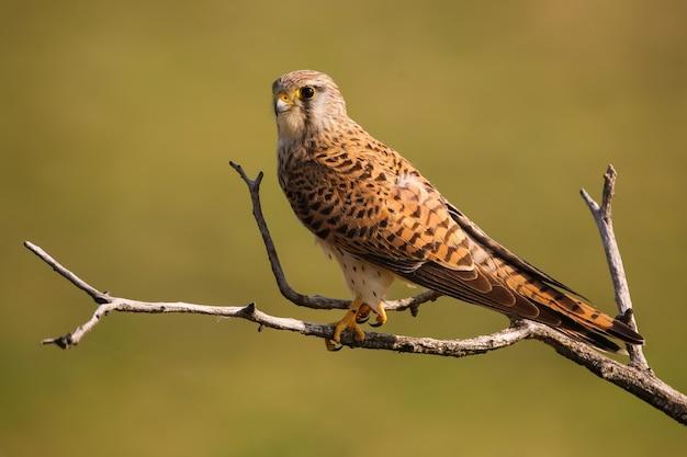 Alerte faucon crécerelle femelle assis sur un arbre dans la nature printanière ensoleillée