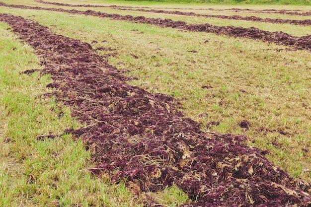 Algues rouges séchant sur le terrain pour la production d'agar