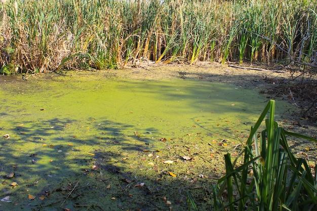 Algues vertes et lentilles d'eau à la surface de l'eau