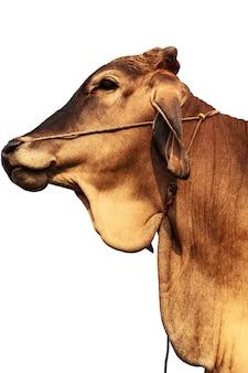 L'alimentation du bétail dans les zones rurales pour l'agriculture.