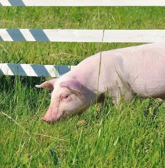 Alimentation des petits porcs